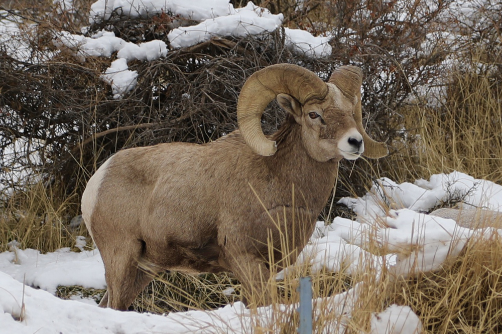 big horn sheep keeping watch.JPG